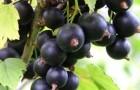 Сорт смородины черной: Зелёная дымка