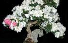 Выращивание бонсай из саженцев, приобретенных в питомнике