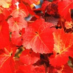 виноград Куанье ( Vitis coignetiae)