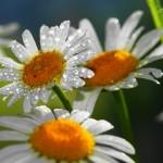 361411_romashki_cvety_kapli_priroda_2288x1280
