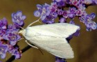 Бледный луговой мотылек