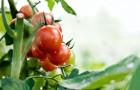 Чем опрыскивать помидоры?