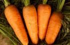 Чем полезна морковь?