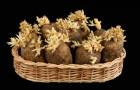 Что делать если картофель начал рано прорастать?