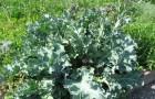 Что лучше выращивать, катран или хрен?