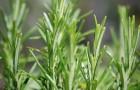 Что за растение розмарин?