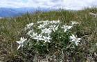 Эдельвейс на альпийской горке