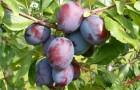 Есть ли сливы с гроздьями как у винограда?