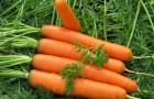 Как получить хороший урожай моркови?