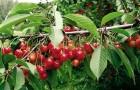 Как посадить черешню?