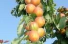 Как правильно сажать абрикосы?