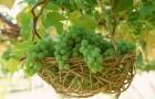 Как спасти укрывные сорта винограда от морозов?