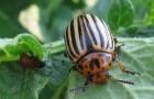 Как уберечь баклажаны от колорадского жука?