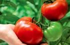 Как ускорить процесс созревания помидоров?