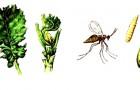 Капустный черешковый комарик