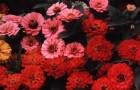 Красный и розовый