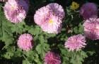 Можно ли сажать хризантемы «дубки» с цветами?