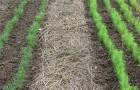 Мульчирование поверхности почвы