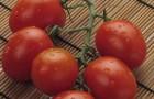 На каком расстоянии высаживать помидоры?