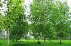 Нужна ли пара деревьям и кустарникам?