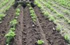 Нужно ли картофелю раннее окучивание?