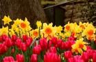 Нужно ли срезать нарциссы и тюльпаны?
