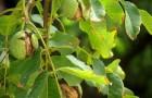 Орех против мух