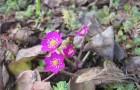 Печеночница (гепатика) на альпийской горке