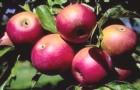Почему «яблоня-груша» не плодоносит?