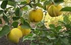 Почему чернеют плоды айвы?