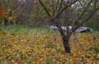 Почему у вишни появляется смолянистый наплыв и опадают листья?