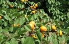 Почему вымерзают большие деревья абрикоса?