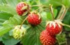 Почему земляника не дает ягод?