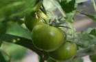 Полезны ли зеленые помидоры?