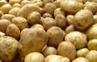 Помидор прививают на растение картофеля