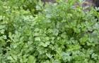 Разве петрушка - лекарственное растение?