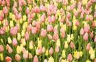 Розовый и желтый