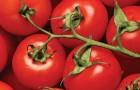 Сорта долго хранящихся помидор