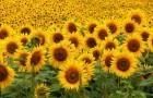 Срок годности семян подсолнечника