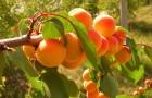Утепление абрикоса