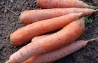 В какое время убирать морковь и свеклу?