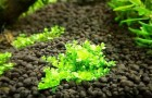 Вегетативное размножение на альпинерии