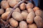 Вредно ли частое употребление картофеля?
