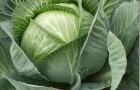 Второй урожай капусты