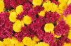 Желтый и пурпурный