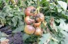 Защита томатов от болезней