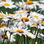 hq-wallpapers_ru_flowers_47166_1920x1080