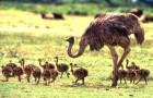 Выращивание страусят