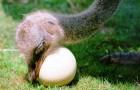 Технологии разведения страусов