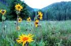 Семь лекарственных трав, доступных каждому